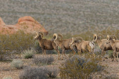 Herd of Desert Bighorn Rams. A herd of desert bighorn sheep rams in the Nevada desert Royalty Free Stock Photo