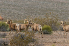 Herd of Desert Bighorn Sheep Rams. A herd of desert bighorn sheep rams in the Nevada desert Royalty Free Stock Image