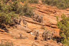 Herd of Desert Bighorn Sheep Royalty Free Stock Photo