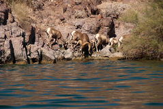 Herd of Desert Long Horn Sheep. Coming down to the Colorado River to get a drink Stock Image