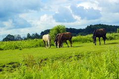 Herd of different horses grazing in green field Royalty Free Stock Image