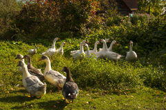 A herd of domestic geese Royalty Free Stock Images
