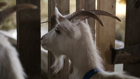 Herd of domestic goats in the corral stock footage