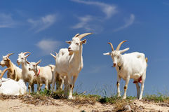 A herd of domestic goats Royalty Free Stock Images