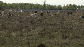 Herd of domestic goats grazing in a field stock footage