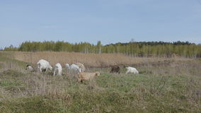 Herd of domestic goats grazing in a field stock video footage