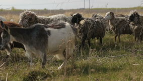 Herd of domestic goats and sheeps grazing in a field stock footage