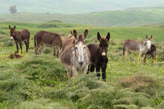 Herd of donkeys Royalty Free Stock Photos