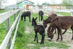 Herd of donkeys grazing in pasture and baby foal. Herd of donkeys grazing in spring pasture and funny baby foal royalty free stock photography