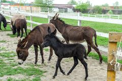 Herd of donkeys grazing in pasture and baby foal. Herd of donkeys grazing in spring pasture and funny baby foal royalty free stock photo
