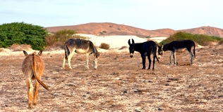 Herd of donkeys Royalty Free Stock Image