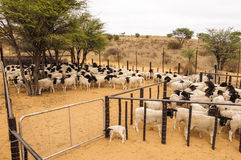 A herd of Dormer sheep crowded in a stable Royalty Free Stock Photo