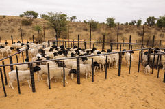 A herd of Dormer sheep in a stable in South Africa. A herd of many Dormer sheep crowded together in a stable waiting to be dipped for ticks and other pesticides Royalty Free Stock Images