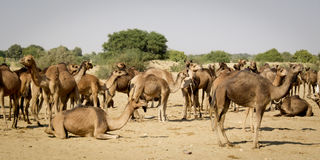 Herd of dromedaries. Herd of dromedaries in the desert Stock Photo