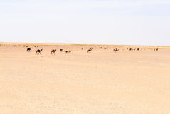 Herd of dromedaries, Rub al-Khali desert (Oman) Royalty Free Stock Image