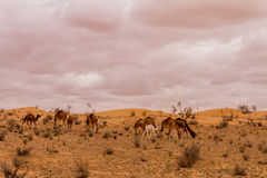 Herd of dromedary camel. At the tunisian desert Stock Photo
