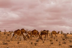 Herd of dromedary camel. At the tunisian desert Royalty Free Stock Photos
