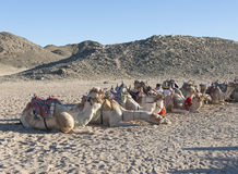 Herd of dromedary camels in the desert. Herd of dromedary camels at egyptian bedouin village in remote mountain rocky desert Stock Photography