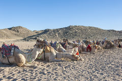 Herd of dromedary camels in the desert Royalty Free Stock Images