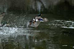 Duck and mallard flying on the water lake. Herd of duck and mallard flying on the water lake Stock Photos