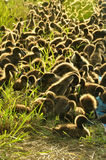 Herd of ducks in plastic fence in the rice field Stock Images