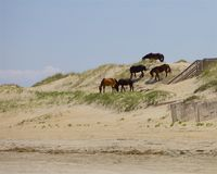 Herd on the Dunes Royalty Free Stock Photos
