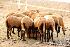 A herd of eating Barbado Blackbelly sheep Royalty Free Stock Photography