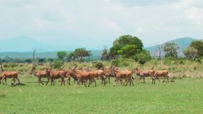 A herd of african antelopes walks the African savannah