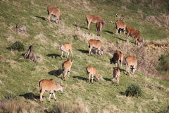 Herd of eland grazing Royalty Free Stock Images