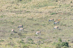 Herd of Eland. A herd of Eland, Taurotragus oryx oryx. The eland is the largest antelope on earth Royalty Free Stock Photo