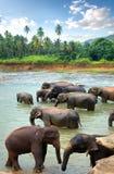 Herd of elefants Stock Photos