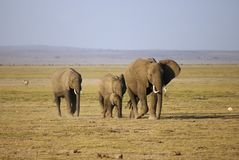 Herd of elephant. A herd of elephant in Amboseli game reserve Royalty Free Stock Photography