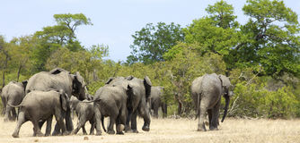 Herd of Elephant. A herd of Elephants walking away from the camera, Kruger National Park Royalty Free Stock Photos