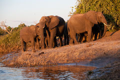 Herd of elephant Stock Photos