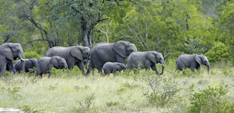 Herd of elephant Stock Images