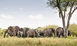 Herd of elephant. In Africa Royalty Free Stock Image