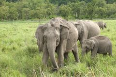 A herd of elephant in Dhikala Grassland Royalty Free Stock Photography