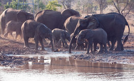 Herd of elephant drinking water Stock Photo