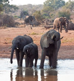 Herd of elephant drinking  water Stock Image