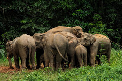 Herd of Elephant Royalty Free Stock Photo