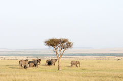 Herd of Elephant in the Mara, Kenya Stock Photo