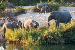 Herd of elephant play next to river Stock Photos