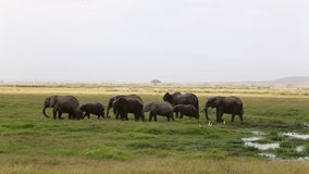 Herd of elephant after river bath in Amboseli National Park. stock footage