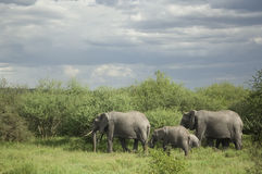 Herd of elephant in the serengeti plain Royalty Free Stock Photography