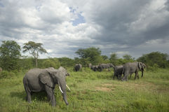 Herd of elephant in the serengeti plain Stock Photography