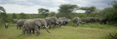Herd of elephant in the serengeti plain Stock Images