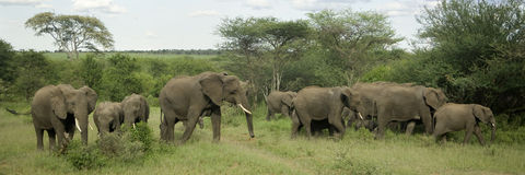 Herd of elephant in the serengeti plain Royalty Free Stock Photos