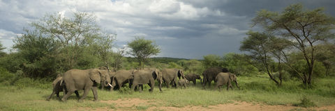 Herd of elephant in the serengeti plain Royalty Free Stock Image