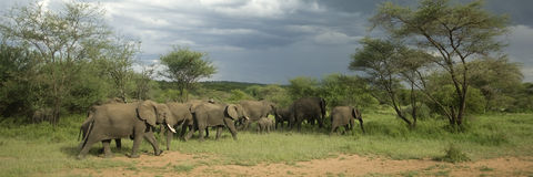 Herd of elephant in the serengeti plain royalty free stock photos