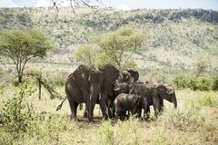 Herd of elephant, Serengeti, Tanzania Royalty Free Stock Image